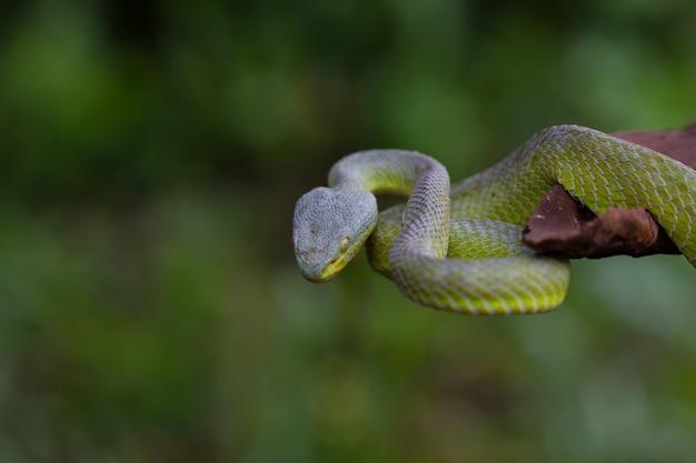 Schließen sie herauf gelb-lippen grüne pit viper-schlange