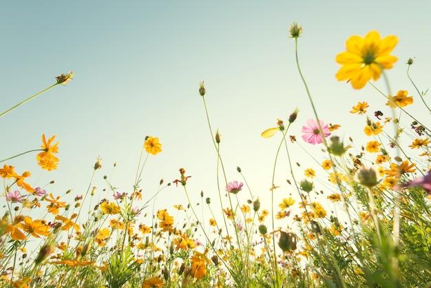 Schließen sie herauf gelbe kosmosblume auf natürlichem hintergrund des blauen himmels.