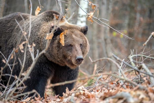 Schließen sie herauf großen braunbären im herbstwald