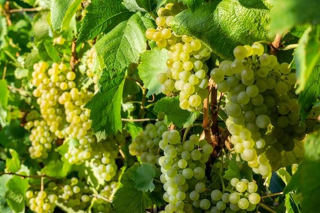 Schließen sie herauf grüne weintraube in champagner-weinbergen bei montagne de reims, reims, frankreich