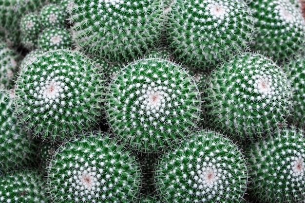 Schließen sie herauf grünen kaktushintergrund