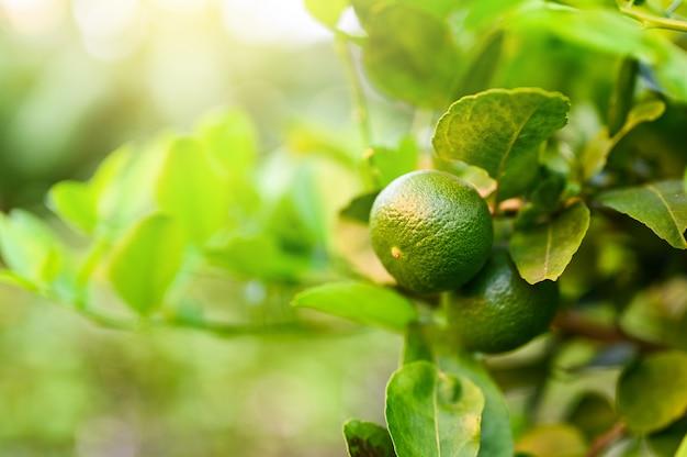 Schließen sie herauf grünen kalk und verlassen sie im garten mit kopienraum, populärem obst oder gemüsekonzept.