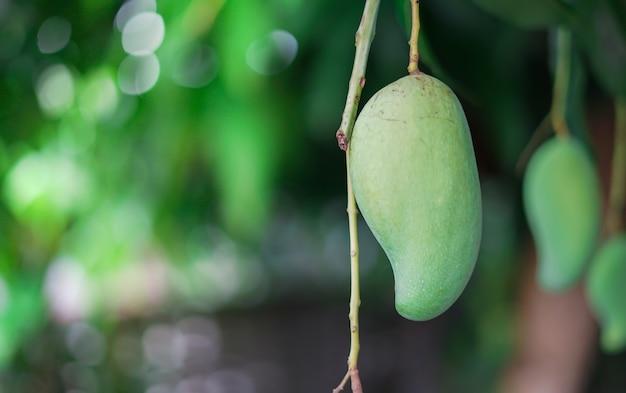 Schließen sie herauf grünen mangobaum, tropische frucht