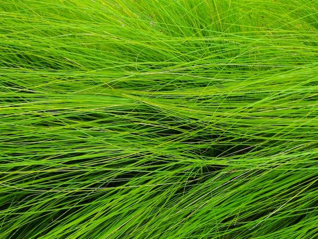 Schließen sie herauf grünes gras auf dem feldhintergrund