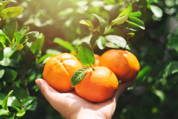 Schließen sie herauf hand, die orangen früchte im garten auswählt