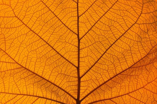Schließen sie herauf hintergrundbeschaffenheit der beleuchteten orange herbstblattadern