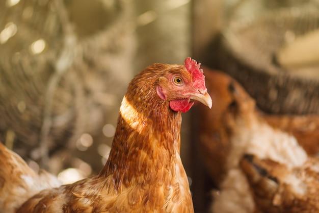Schließen sie herauf hühner im häuslichen bereich