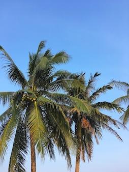 Schließen sie herauf kokospalmenblätter über klarem blauem himmel am sommerstrand mit kopienraum.