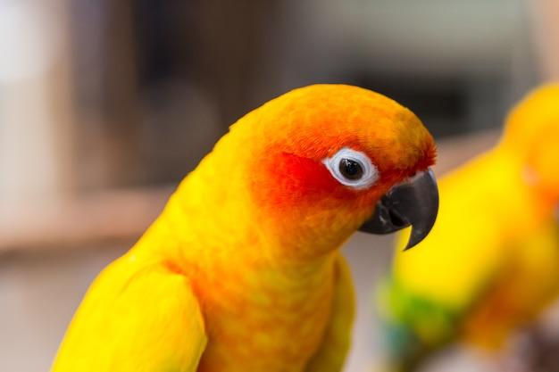 Schließen sie herauf kopf und maus des gelben und orange papageienvogels sun parakeet oder sun conure