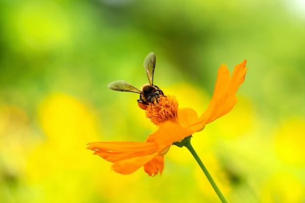Schließen sie herauf kosmosblume und biene
