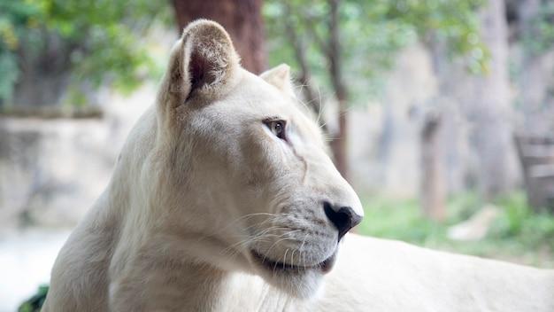 Schließen sie herauf löwen weibliches gesicht auf waldtier