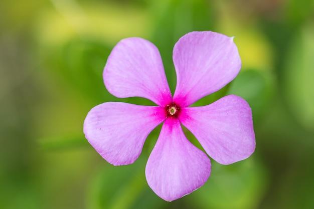 Schließen sie herauf madagaskar-singrünblume in einem garten. häufig nennen sie helle augen, kap-singrün, friedhofsanlage, altes mädchen, rosa singrün, rosen-singrün. (catharanthus roseus)
