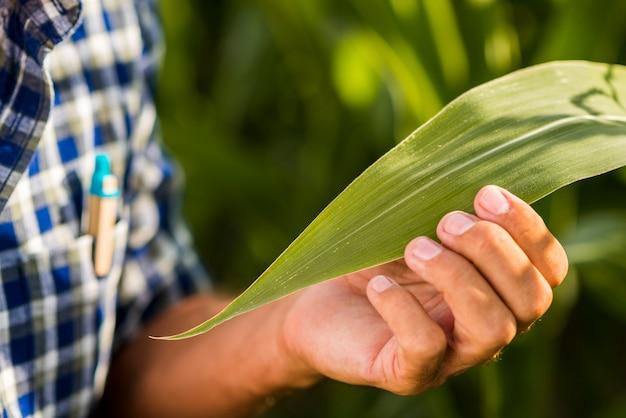 Schließen sie herauf maisblatt mit unscharfem hintergrund
