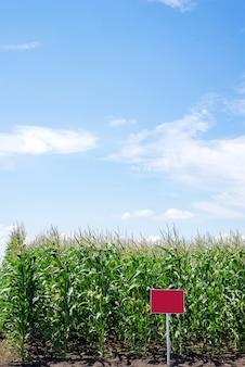 Schließen sie herauf maisfeld in der landschaft. viele junge mais zum verkauf angebaut. kopieren sie platz