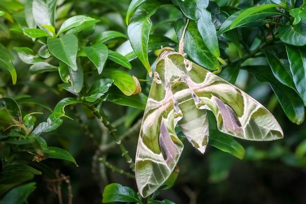 Schließen sie herauf makro grüne schmetterlingsoleander-falkemotte auf dem blatt