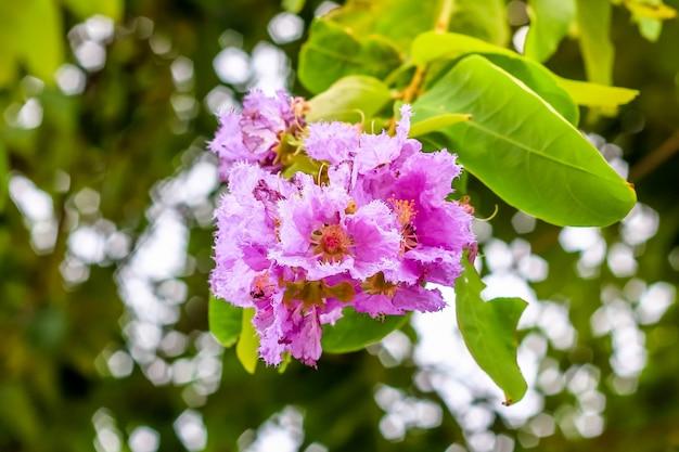 Schließen sie herauf makro-lythraceaeblume auf dem baum