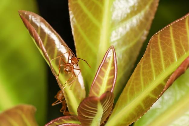 Schließen sie herauf makro rote ameise auf grünem babyblatt auf natur bei thailand