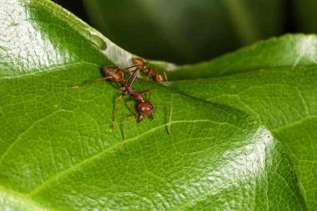 Schließen sie herauf makro rote ameise auf grünem blatt auf natur bei thailand