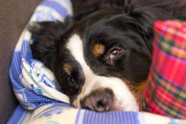 Schließen sie herauf mündung des berner sennenhundes. schlafenszeit. hund schläft auf dem bett eines menschen.