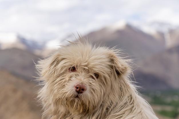 Schließen sie herauf obdachlosen hund in leh ladakh des nordens von indien