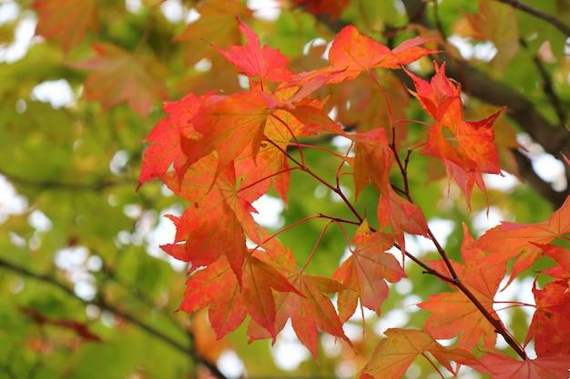 Schließen sie herauf orange und rotes ahornblatt mit bunten blättern im herbsthintergrund