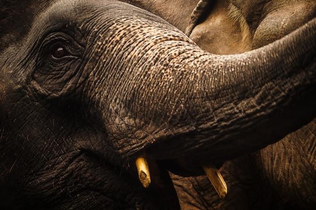 Schließen sie herauf porträt des elefanten asien