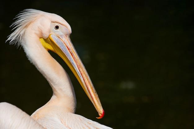 Schließen sie herauf porträt des pelikans in der natur