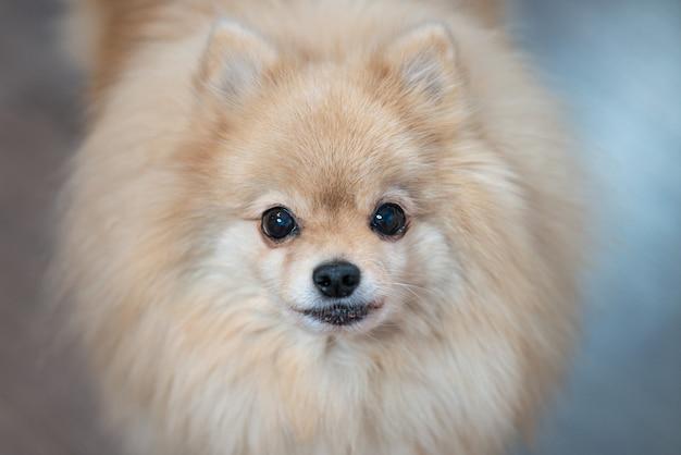 Schließen sie herauf porträt des schönen kleinen pommerschen spitzhundes