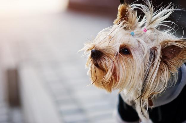 Schließen sie herauf porträt des yorkshire-terrierhundes auf einer leine.