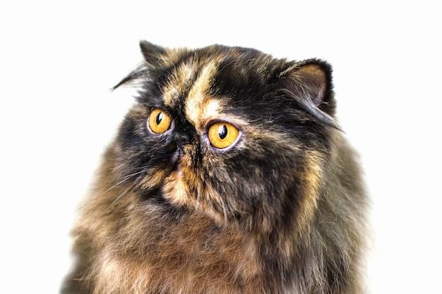 Schließen sie herauf porträt einer schönen persischen katze mit großen orange augen.