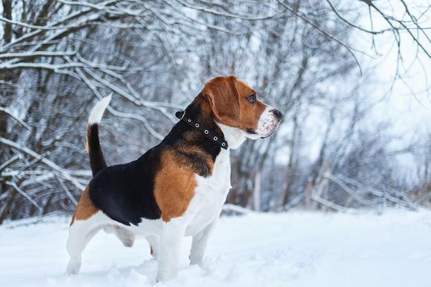 Schließen sie herauf porträt eines beagle-hundes im winter, der auf einer wiese steht, die beiseite schaut