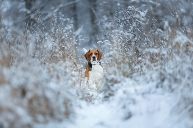 Schließen sie herauf porträt eines beagle-hundes im winter, der in den büschen auf einer wiese steht, die kamera betrachtet