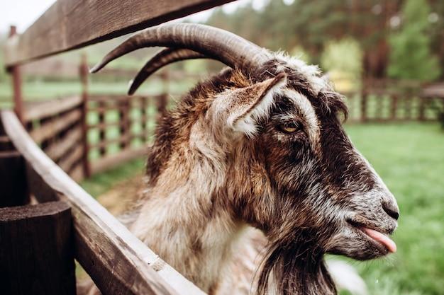 Schließen sie herauf porträtgesicht einer ziege mit einem bart und hörnern auf einem bauernhof im dorf. ein alter ziegenbock mit hörnern. typische szene im ukrainischen dorf, landwirtschaft, viehzucht.