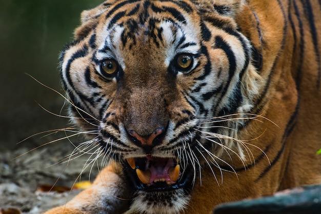 Schließen sie herauf portraits des brüllenden tigers.