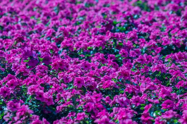 Schließen sie herauf purpurrote madagaskar-singrünblume in einem garten.