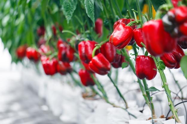 Schließen sie herauf reifen roten grünen pfeffer bei der gewächshauslandwirtschaft