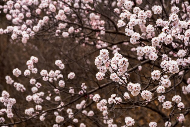 Schließen sie herauf rosa kirschblüte-blumenblüte auf saisonalem, natürlichem hintergrund des baums im frühjahr