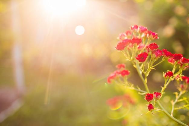Schließen sie herauf rosa schätzchenrosen im garten mit sonnenaufgang