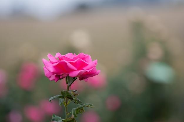 Schließen sie herauf rosafarbene blumen der schönen blüte des selektiven fokus im garten oder auf den gebieten und rosafarbenen blumengarten des handelspflanzen in thailand mit vielen farben