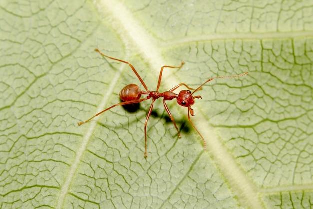Schließen sie herauf rote ameise auf grünem blatt in der natur bei thailand