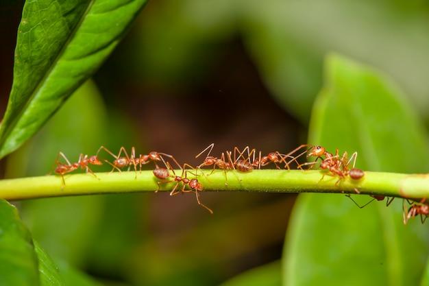 Schließen sie herauf rote ameise auf stockbaum in der natur bei thailand