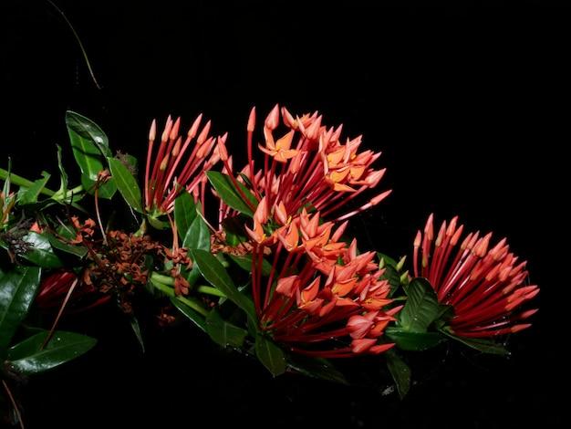 Schließen sie herauf rote blume rubiaceae ixora