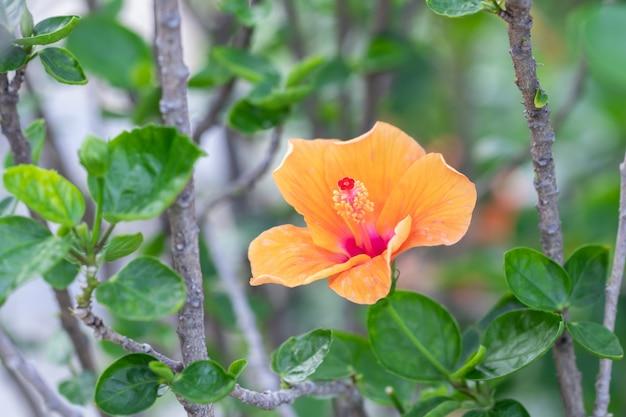 Schließen sie herauf rote pollen-hibiskusblume