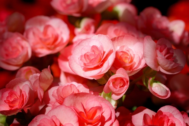 Schließen sie herauf rote rosa begonienblume