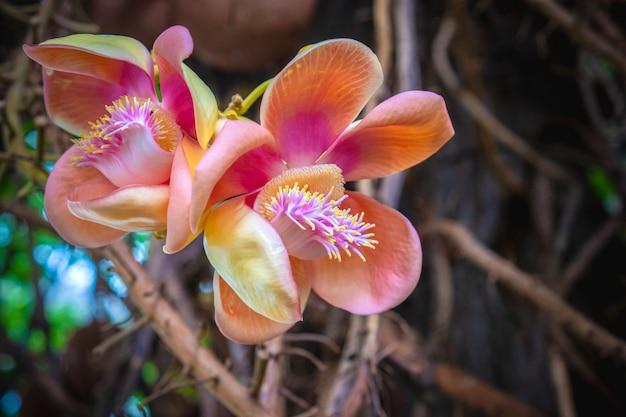 Schließen sie herauf schöne kanonenkugelbaumblumen
