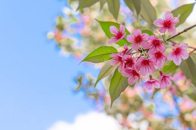 Schließen sie herauf schöne rosa kirschprunus cerasoides wilde himalaya-kirsche wie sakusa-blume, die an nordthailand, chiang mai, thailand blüht.