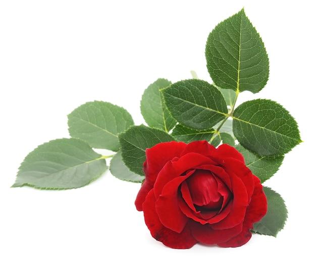 Schließen sie herauf schöne rote rose mit blättern