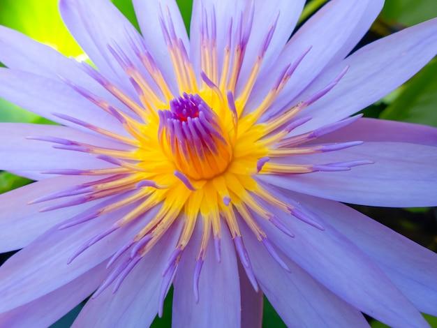 Schließen sie herauf schönen purpurroten lotos auf naturhintergrund