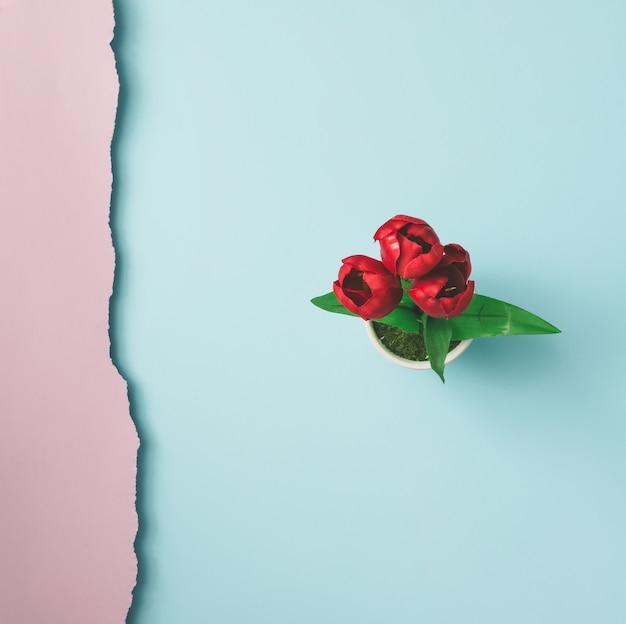 Schließen sie herauf schuss von roten blumen auf rosa blauer wand. minimales konzept. flach liegen. draufsicht.