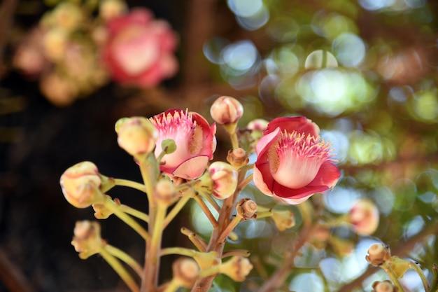 Schließen sie herauf shorea robusta oder kanonenkugelblume vom baum, unschärfennaturhintergrund.